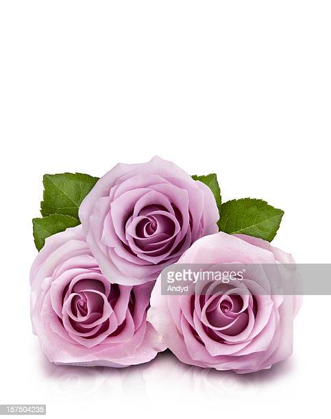 ライラックのバラ
