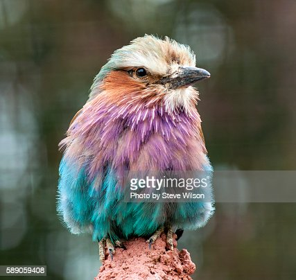 Lilac-breasted Roller Close up