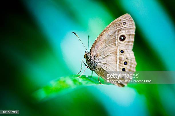 Lilacine bushbrown butterfly