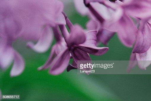 Lilacs : Stock Photo