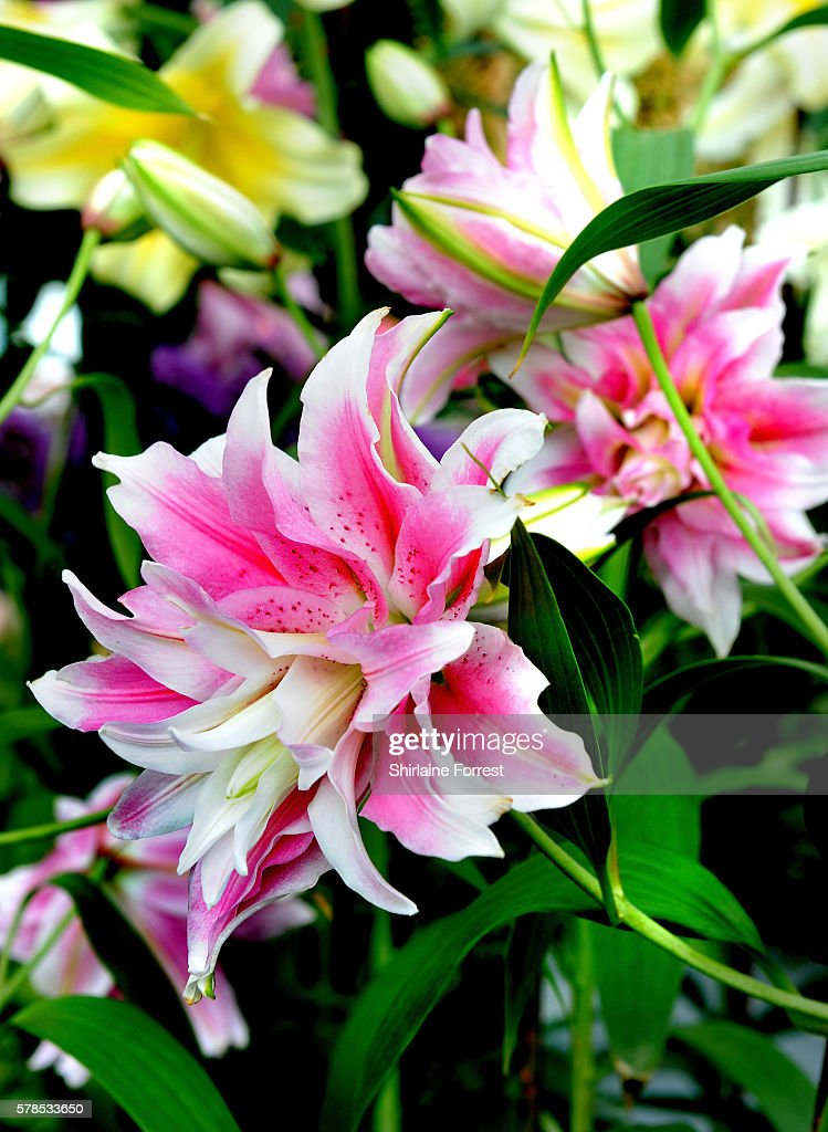Lilium Roselily Isabella on display during the RHS Flower Show at Tatton Park on July 21 2016 in Knutsford England