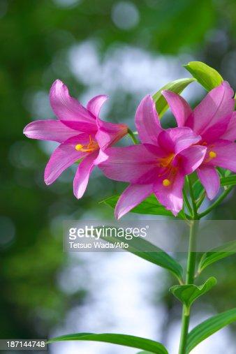 Lilium Rubellum flowers