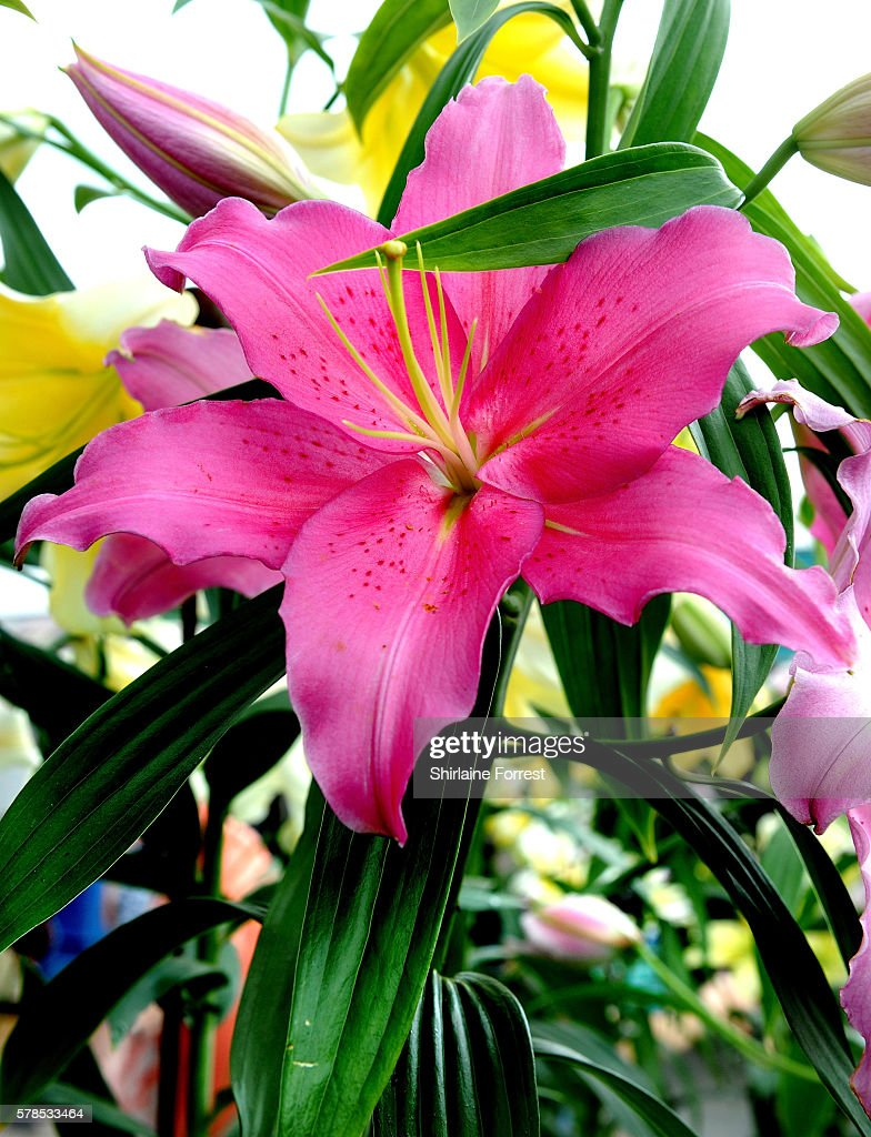 Lillies on display during the RHS Flower Show at Tatton Park on July 21 2016 in Knutsford England