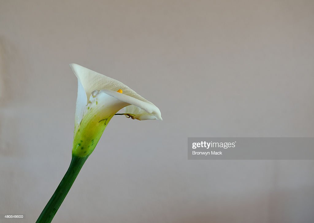 Lilly Flower : Stock Photo