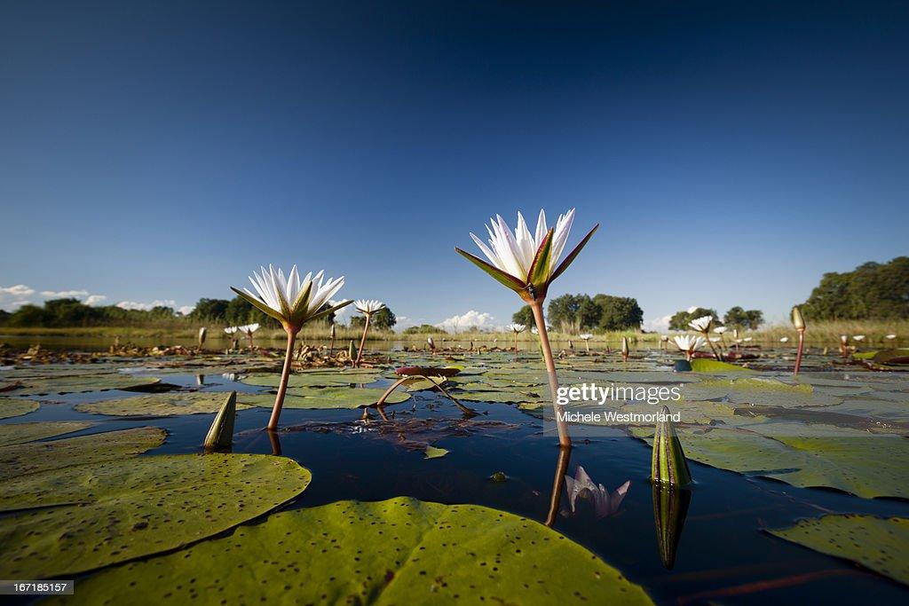 Lilly pads, Okavango Delta, Botswana.