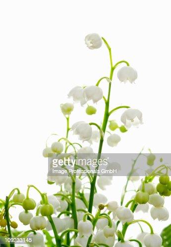 Lily blossom against white background