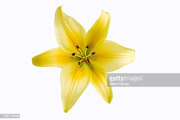 Lily (Lilium spp.) Bright yellow lily on white background.