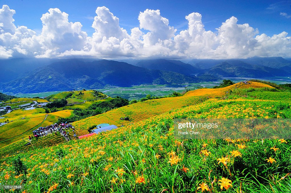 Lily flower field : Stock Photo