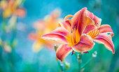 Close up view on orange purple orange lily flowers
