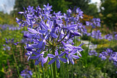 Lily of the Nile Blue Lily African Lily Common Agapanthus