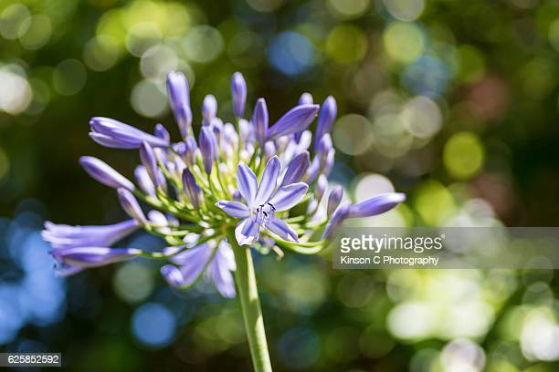 Lily of the Nile, Blue Lily, African Lily, Common Agapanthus (Agapanthus praecox ssp. orientalis)