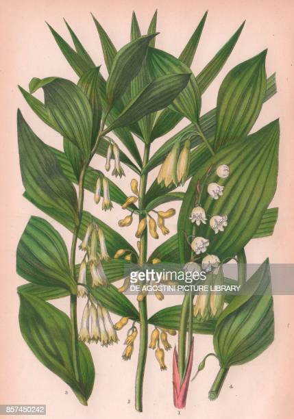 1 Lily of the valley 2 Narrow leaved Solomon's seal 3 Common Solomon's seal 4 Angular Solomon's seal chromolithograph ca cm 14x22 from The Flowering...