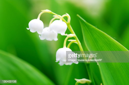Lily of the valley, close-up, Hokkaido Prefecture, Japan