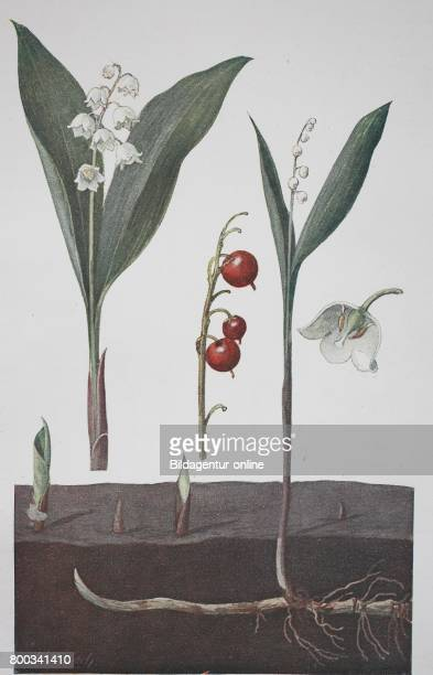 Lily of the valley Convallaria majalis historical illustration 1880