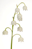Lily of the Valley -Convallaria majalis-, Stuttgart, Baden-Wurttemberg, Germany