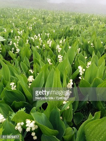 Lily of the valley field