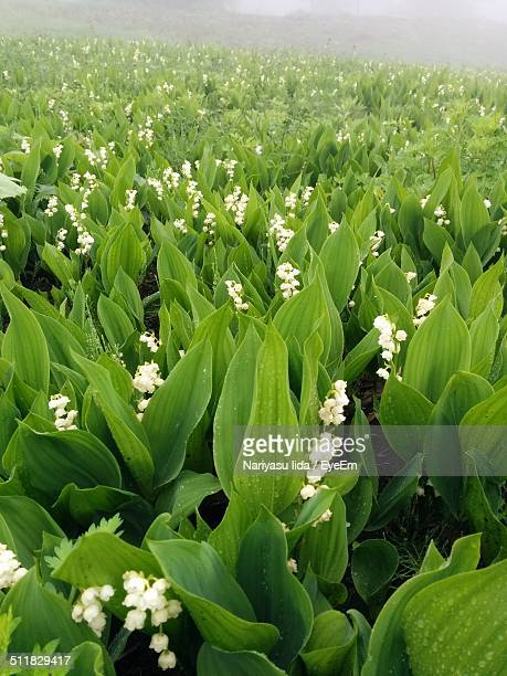 Lily of the valley フィールド