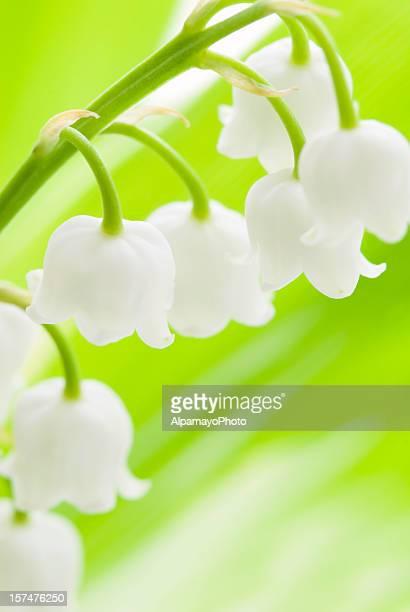Lys de la vallée des fleurs (Convallaria majalis)-IV