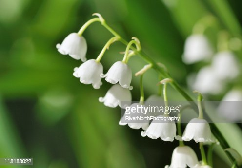 Lily of the valley in morning light
