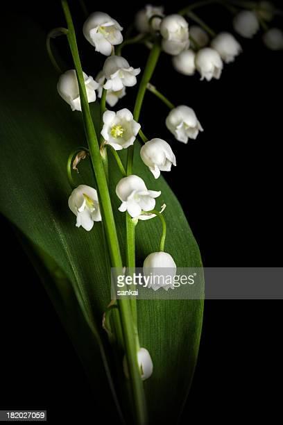 Lys de la vallée, isolé sur fond noir. Lilium convallium.