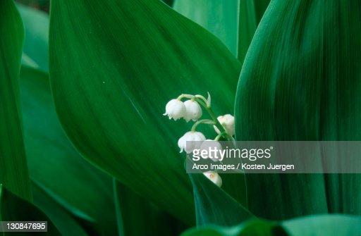Lily of the Valley, North Rhine-Westphalia, Germany (Convallaria majalis)