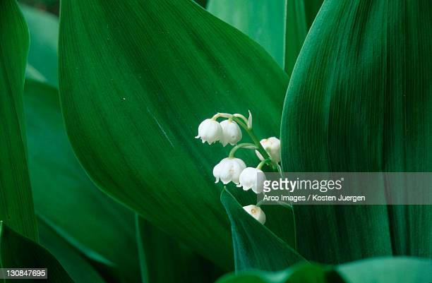 Lily of the Valley, North Rhine-Westphalia, Germany (Convallaria majalis)