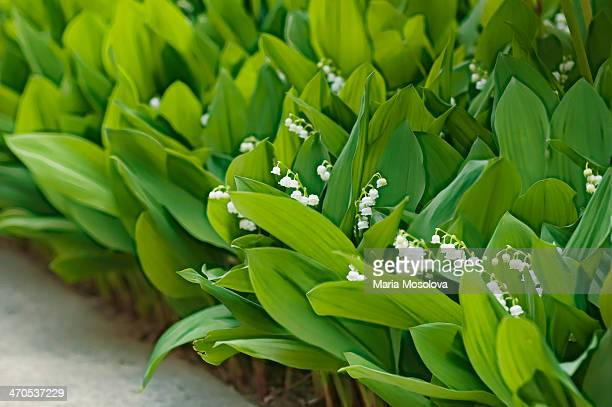 Lily of the Valley Patch in Bloom
