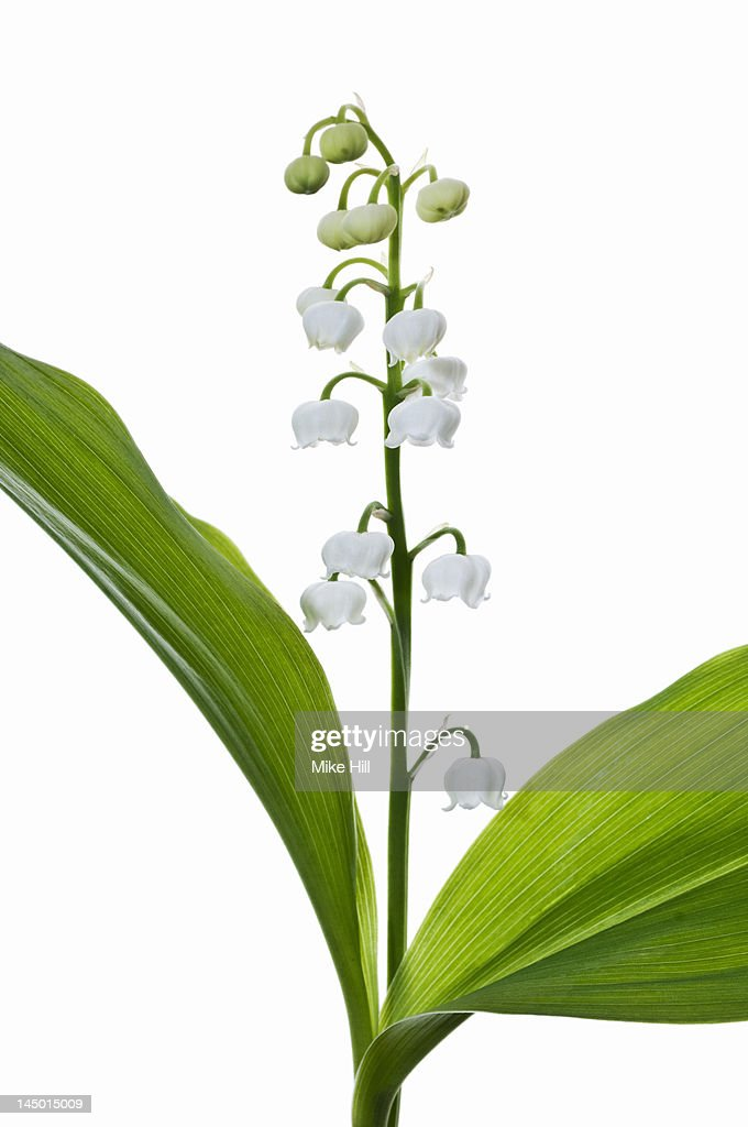 Lily of the Valley (Convallaria majalis) : Stock Photo