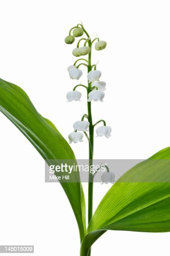 Lily of the Valley (Convallaria majalis) : Foto de stock