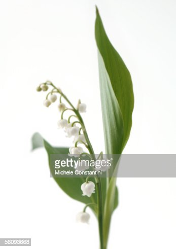 Lily Of The Valley Stock Photos and Pictures | Getty Images