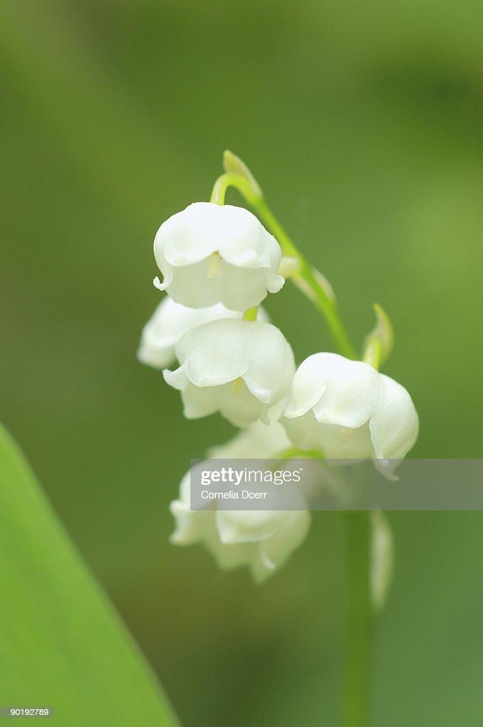 Lily of the Valley (Convallaria majalis)  : Stock Photo