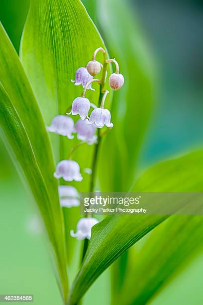 Lily of the valley pink spring flower