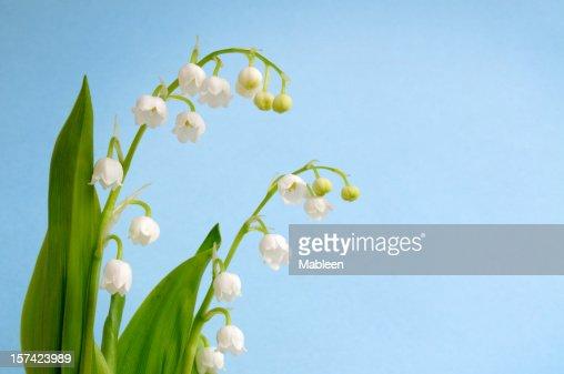 Lily of the Valley (Convallaria majalis) Shallow DOF