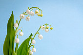 Lily of the Valley (Convallaria majalis) Shallow DOF