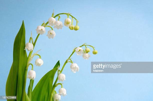 Lys de la vallée (Convallaria majalis Shallow DOF)