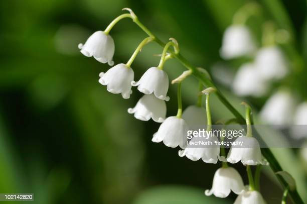 Lily of the Valley White Blooms