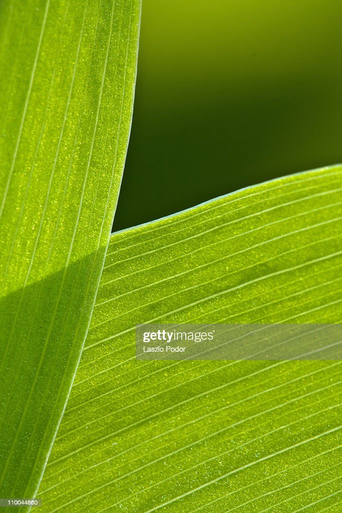 Lily of Valley leaves : Stock Photo