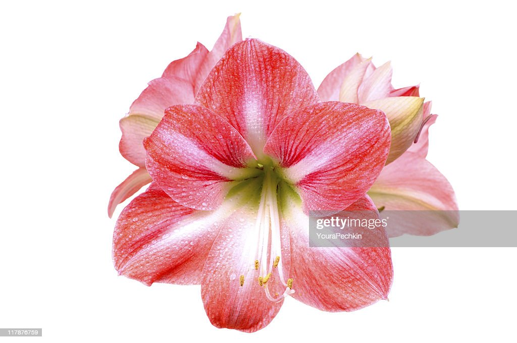 Lily on white : Stock Photo