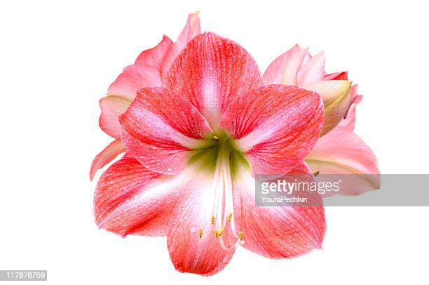 Lily auf Weiß