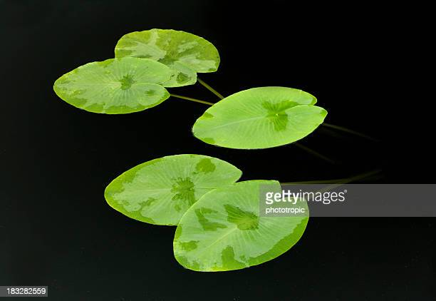 Lily Pads on black pond
