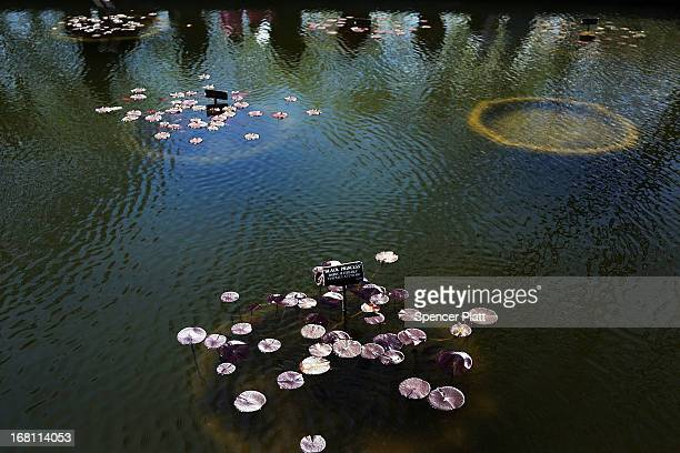 Lily pads sit in a pond at the Brooklyn Botanical Garden on May 5 2013 in New York City The botanical garden which sits on 52acres features numerous...