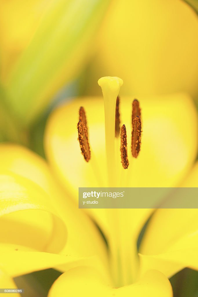 Lily : Foto stock