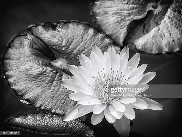 Lily pond beauty