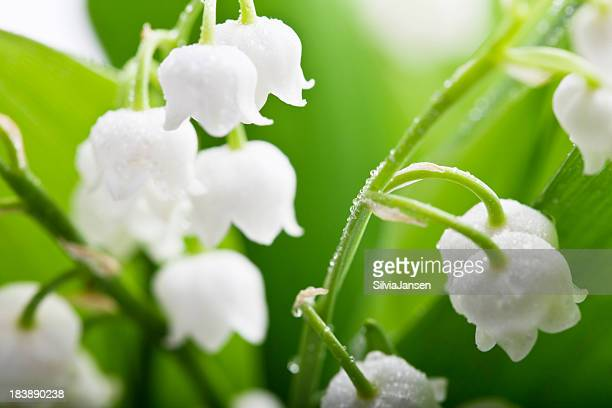 lily-of-the-valley and water drops