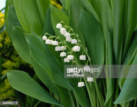 Lily-of-the-Valley : Stock Photo