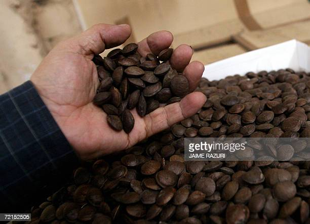 TO GO WITH AFP STORY A man shows 'Inca Inchi' seeds at an oil factory September 14 in Lima The 'Inca inchi' is an oleaginous seed which is said to...
