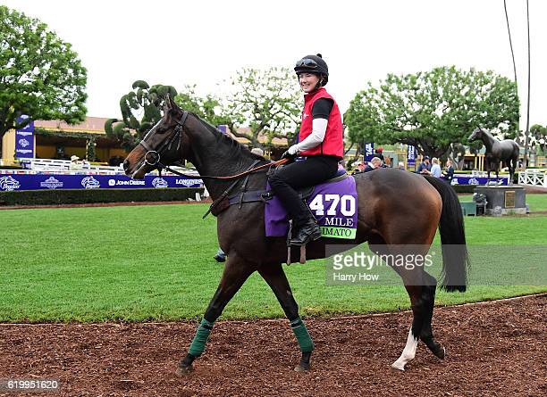 Limato cools off in the paddock during training in the Mile for the 2016 Breeders' Cup World Championships at Santa Anita Park on November 1 2016 in...