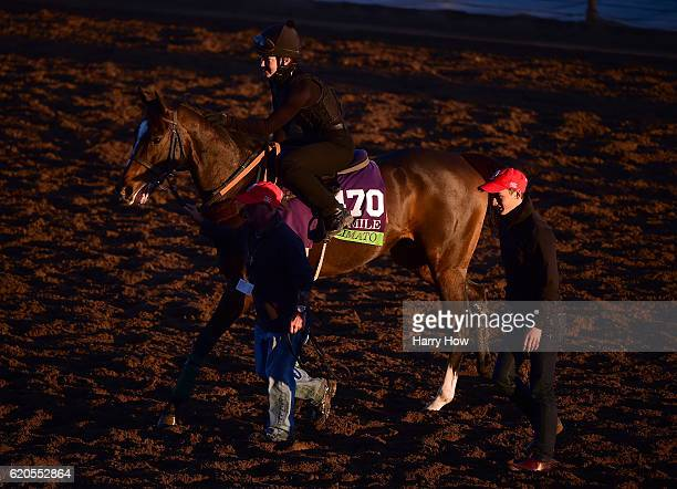 Limato escorted from the turf during training for the Mile race in the 2016 Breeders' Cup World Championships at Santa Anita Park on November 2 2016...
