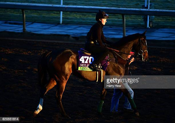 Limato escorted to the turf during training for the Mile race in the 2016 Breeders' Cup World Championships at Santa Anita Park on November 2 2016 in...