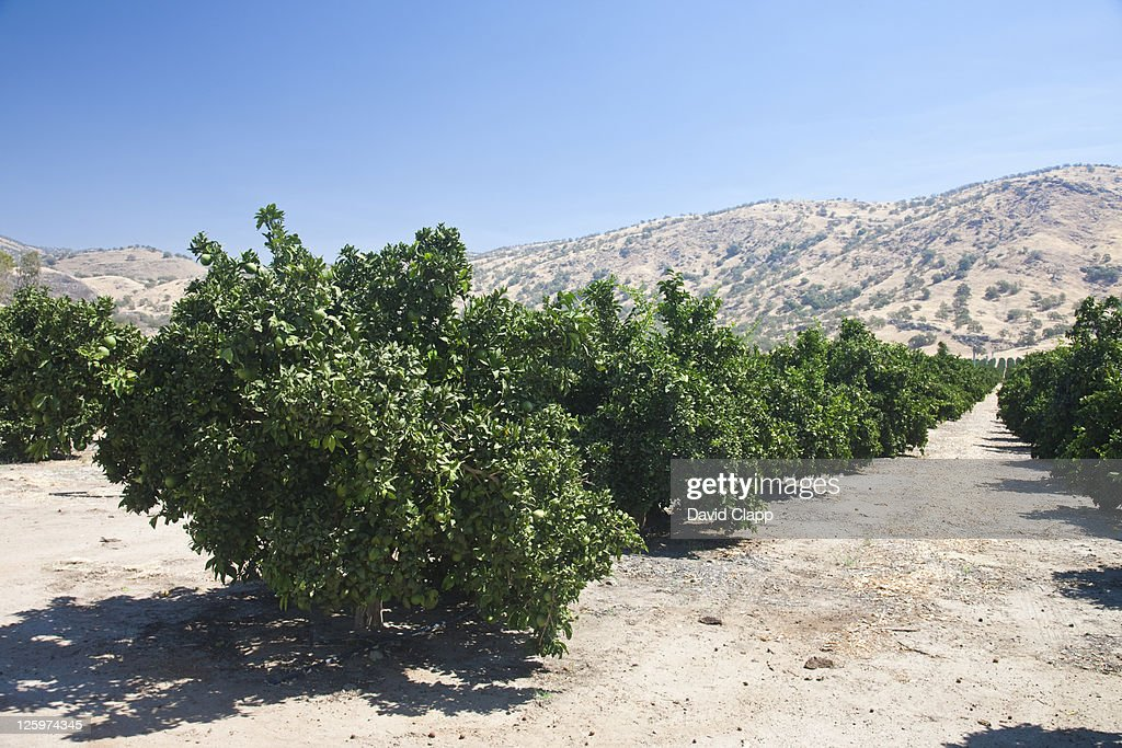 Lime groves near Fresno in Fresno County, Central California, Sierra Nevada, California, United States of America : Stock Photo